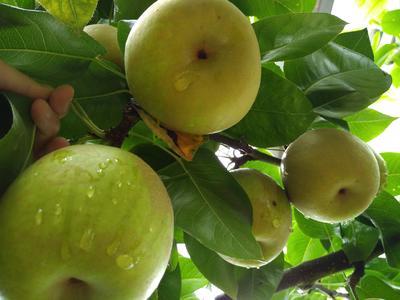 这是一张关于翠冠梨 200-250g 65mm以上的产品图片