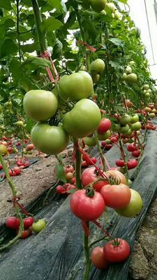 这是一张关于硬粉番茄苗 四两叶一心的产品图片
