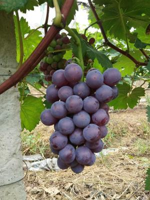 江西省赣州市安远县夏黑葡萄 5%以下 1次果 1-1.5斤