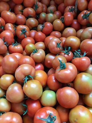 这是一张关于福瑞特番茄 不打冷 大红 弧三以上的产品图片