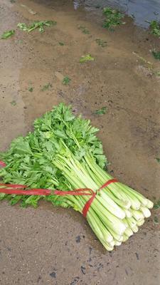 陕西省西安市阎良区美国西芹 55~60cm 露天种植 0.5斤以下