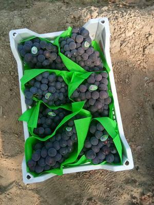 辽宁省营口市盖州市巨峰葡萄 5%以下 1次果 1.5- 2斤