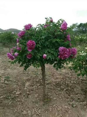 甘肃省定西市临洮县紫斑牡丹 6~8cm 20cm以上 2.5~3米