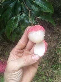 这是一张关于荔枝王 2cm的产品图片