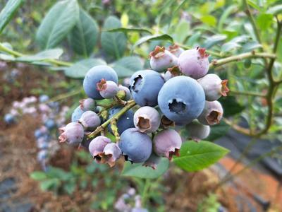 这是一张关于兔眼蓝莓 鲜果 8 - 10mm以上的产品图片