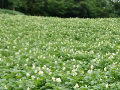 这是一张关于硒土豆 2~4两的产品图片