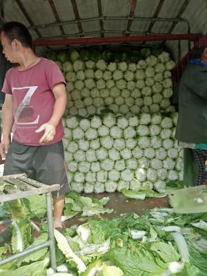 河北省承德市围场满族蒙古族自治县黄心大白菜 3~6斤 净菜