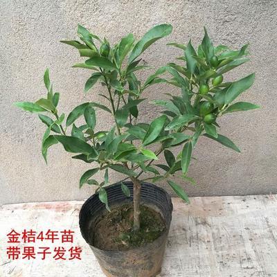 这是一张关于金桔盆栽的产品图片