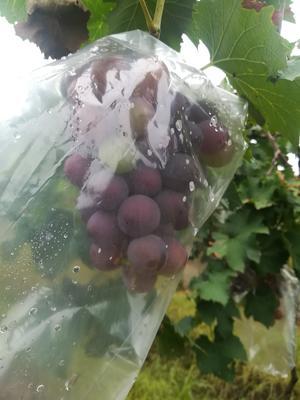 广东省珠海市金湾区巨峰葡萄 5%以下 1次果 0.6-0.8斤