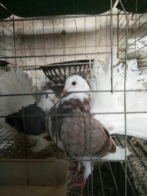 这是一张关于凤尾鸽 500-600克的产品图片