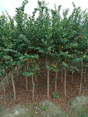 这是一张关于紫薇树的产品图片