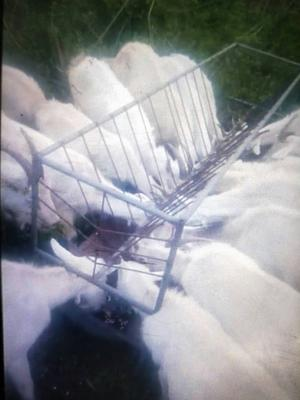 吉林省通化市通化县山羊 30-50斤