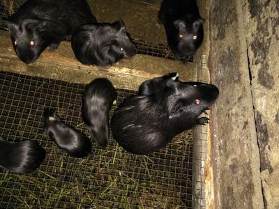 广西壮族自治区柳州市融安县豚鼠