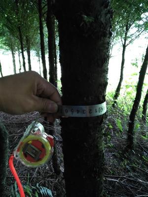 云南省文山壮族苗族自治州富宁县南方红豆杉 5米以上