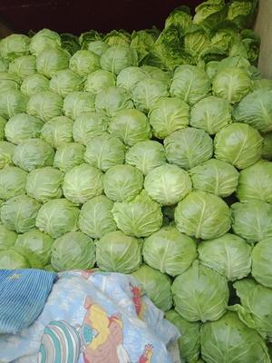 河北省承德市围场满族蒙古族自治县绿甘蓝 1.5~2.0斤