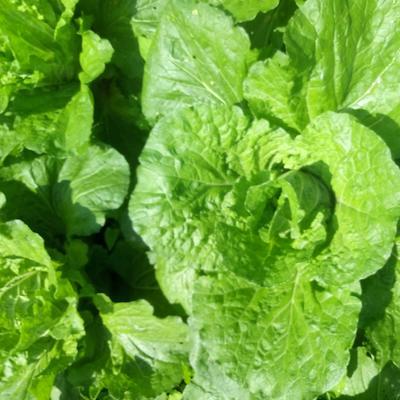 这是一张关于黄心大白菜 3~6斤 毛菜的产品图片