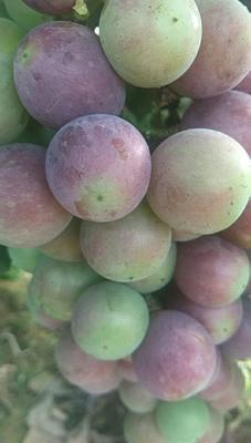 河南省平顶山市鲁山县夏黑葡萄 10%以下 1次果 1-1.5斤