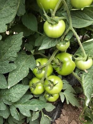 这是一张关于思必得西红柿 不打冷 大红 通货的产品图片