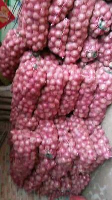 山东省德州市乐陵市商河大蒜 5.5-6.0cm 多瓣蒜