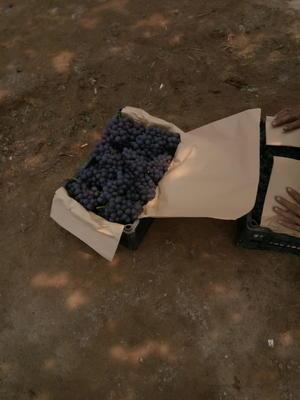 河北省秦皇岛市昌黎县玫瑰香葡萄 5%以下 1次果 1.5- 2斤