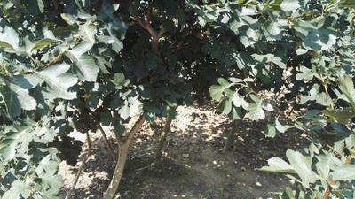 山东省泰安市岱岳区山里红山楂树苗