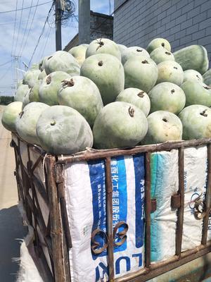这是一张关于白皮冬瓜 2斤以上 白霜的产品图片