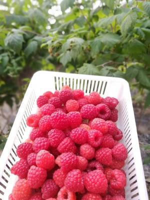 山西省临汾市尧都区红树莓 鲜果