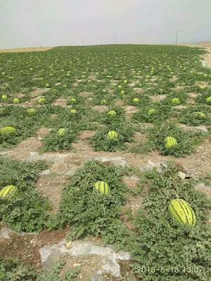 这是一张关于金城5号西瓜 有籽 1茬 8成熟 10斤打底的产品图片