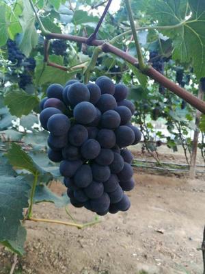 陕西省西安市户县夏黑葡萄 5%以下 1次果 1.5- 2斤