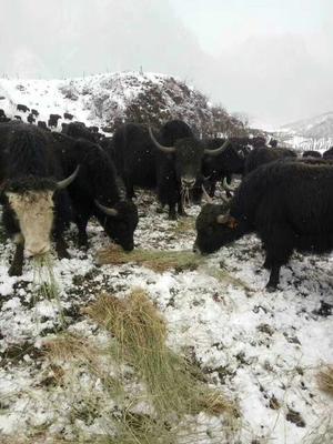 这是一张关于牦牛 200-300斤 统货的产品图片