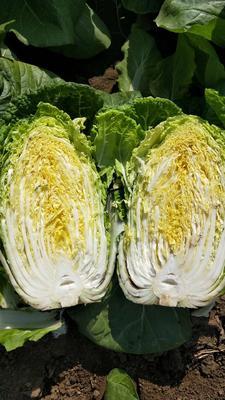 山东省青岛市即墨市黄心大白菜 6~10斤 毛菜