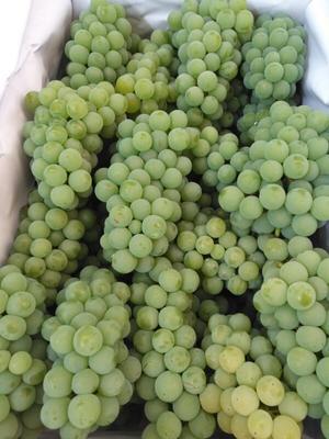 云南省红河哈尼族彝族自治州弥勒市水晶葡萄 5%以下 1次果 0.4-0.6斤