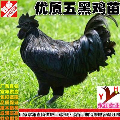 这是一张关于五黑鸡苗的产品图片