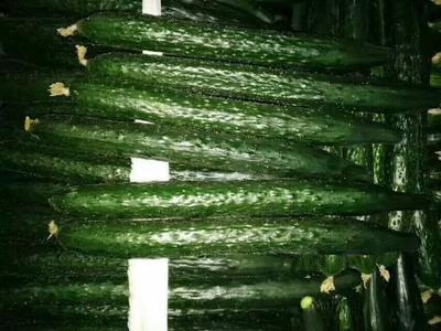 这是一张关于中农106黄瓜 22~25cm 鲜花带刺的产品图片