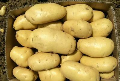 河北省保定市定州市荷兰15号土豆 3两以上