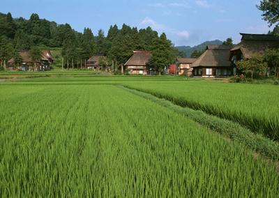 这是一张关于长粒稻 早稻的产品图片