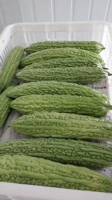 这是一张关于绿苦瓜 18-22cm 4~6两的产品图片