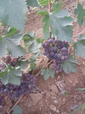 山东省青岛市平度市早紫玫瑰 5%以下 1次果 0.8-1斤