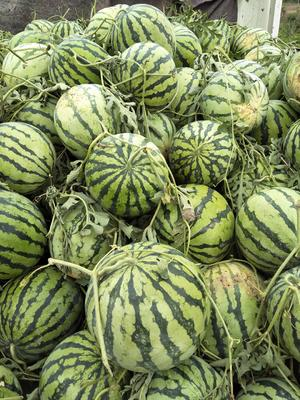 这是一张关于8424西瓜 有籽 1茬 9成熟 5斤打底的产品图片