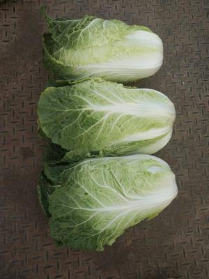 山东省潍坊市诸城市黄心大白菜 3~6斤 二毛菜