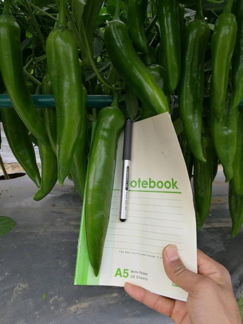牛角椒种子 97%以上 杂交种