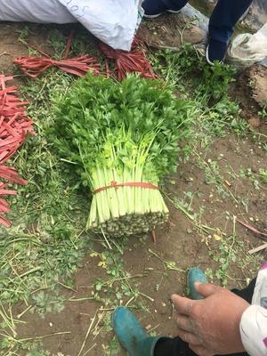 山东省滨州市博兴县法国皇后芹菜 55~60cm 露天种植 0.5斤以下