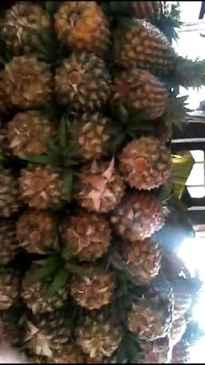 云南省德宏傣族景颇族自治州瑞丽市无眼菠萝 4 - 5斤
