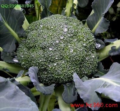 河北省张家口市沽源县耐寒优秀西兰花 1.2~1.5斤 10~15cm