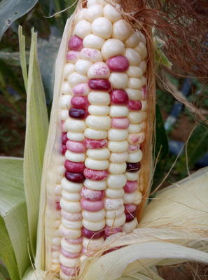 广西壮族自治区南宁市西乡塘区玉米种子