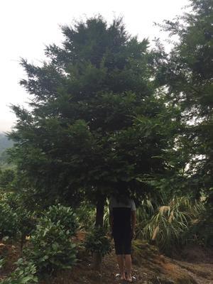 福建省龙岩市漳平市南方红豆杉 3.5米~5米