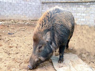 湖南省永州市道县特种野猪 160-200斤 统货