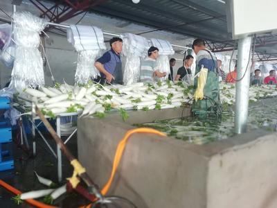 河北省张家口市尚义县白萝卜 1.5~2斤
