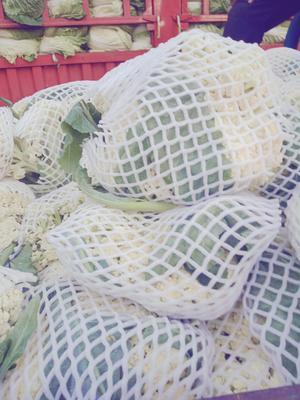 河北省承德市围场满族蒙古族自治县白面青梗松花菜 松散 2~3斤 乳白色