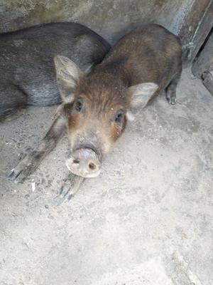 四川省凉山彝族自治州昭觉县特种野猪 200-300斤 公